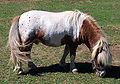 Oakland Miniature Horse.jpg