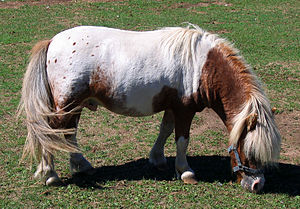 Miniature horse, Oakland Zoo. Chestnut with fl...