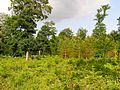 Oakley Wood - geograph.org.uk - 457252.jpg