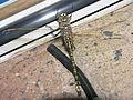 Odonata Perth Australia SMC.JPG
