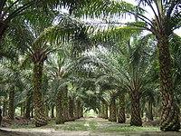 Oilpalm malaysia.jpg