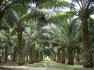 Palm oil - A palm oil plantation in Malaysia