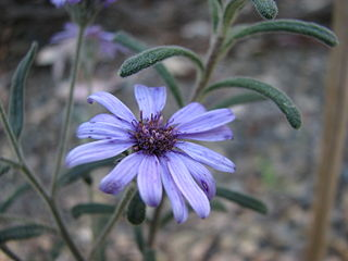 <i>Olearia asterotricha</i> species of plant