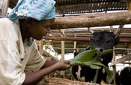 Olive Sabila Chemutai feeds her calves on her homestead in Kapseror Village, Kapchorwa,Uganda, on 11th March, 2009. (10711345545).jpg