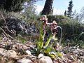 Ophrys ferrum-equinum-Hymettus.jpg