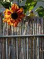Orange Sonnenblume.JPG