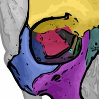 sphenoid bone - wikipedia, Sphenoid