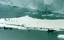 Three killer whales swim along beside a large iceberg. Over 15 penguins stand on the berg; most of them are on the edge nearest the whales, and are looking towards them.