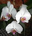 Orchidée (1).JPG