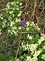 Orchid and Primroses - geograph.org.uk - 1313425.jpg