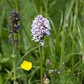 Orchis.x.ietrichiana.8229.jpg