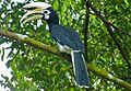Oriental Pied Hornbill (Anthracoceros albirostris) male (8070732291).jpg