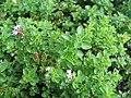 Origanum vulgare Humile 2zz.jpg