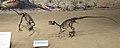 Ornitholestes Royal Tyrrell 1.jpg