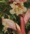 Orobanche alba inflorescence (24).jpg