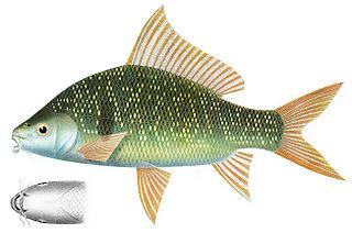 <i>Osteochilus</i> genus of fishes