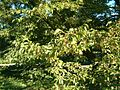 Ostrya carpinifolia HabitusLeavesFruits BotGardBln0906b.JPG