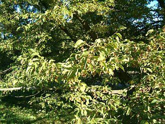 Ostrya carpinifolia - Image: Ostrya carpinifolia Habitus Leaves Fruits Bot Gard Bln 0906b