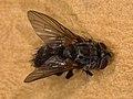 Oswaldia muscaria (40540551835).jpg