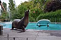 Otarie de Californie (Zoo Amiens)f.JPG