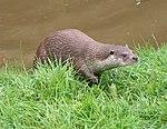 Otter 1 (2761803463).jpg