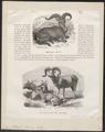 Ovis argali - 1700-1880 - Print - Iconographia Zoologica - Special Collections University of Amsterdam - UBA01 IZ21300099.tif