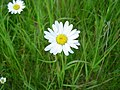 Ox eye daisy - geograph.org.uk - 184085.jpg