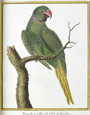 Echo parakeet - Type illustration of P. eques, by François-Nicolas Martinet, 1779