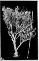 PSM V81 D321 A large fifty years old guayule plant.png