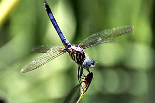 Blue dasher species of insect
