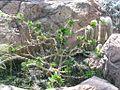 Pachypodium saundersii - Lundi Star - desc-mature plant.jpg
