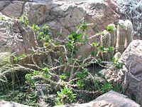 Pachypodium saundersii - Lundi Star - desc-mature plant