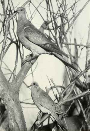 Page The Passenger Pigeon - Mershon djvu 113 - Passenger Pigeon and Mourning Dove.png