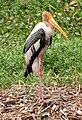 Painted Stork Nest (10838290984).jpg