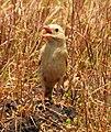 Pale rockfinch (ഇളം പാറക്കുരുവി ) - 15.jpg