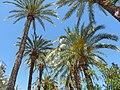 Palmiers d'alicante - panoramio.jpg