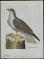 Pandion haliaëtus - 1790-1796 - Print - Iconographia Zoologica - Special Collections University of Amsterdam - UBA01 IZ18100277.tif
