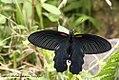 Papilio alcmenor (REDBREAST) Namdapha Tiger Reserve April 2011 open (7659890198).jpg