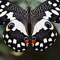 Papilio demoleus Linnaeus, 1758 (23938397662).jpg