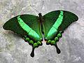 Papilio palinurus.magicoflife butterfly house.jpg