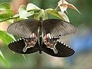 Papilio polytes mating in Kadavoor.jpg