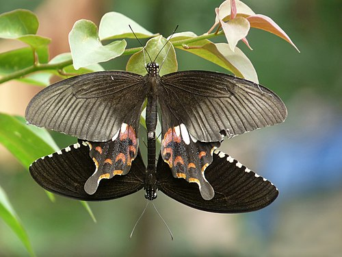 Papilio polytes mating in Kadavoor.jpg