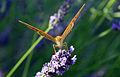Papillon sur lavandin, en plein repas by JM Rosier.JPG