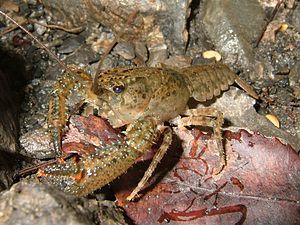 Crayfish - Northern kōura, Paranephrops planifrons (Parastacidae)
