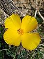 Parish's poppy (Eschscholzia parishii); Bajada - 12525708995.jpg