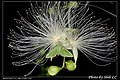Parotis (5966781355).jpg