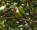 Parrot eating.jpg