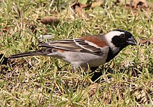 Passer melanurus -Walter Sisulu National Botanical Garden, South Africa-8.jpg