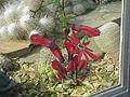 Passiflora racemosa4.jpg