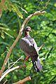 Patagioenas squamosa in Barbados a-10.jpg